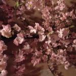 新年度の週末は、桜、桜、桜です!!