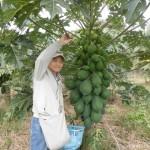 須津でも青パパイアが栽培されてます!!