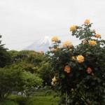 連休最終日は、「富士山とばら」で締めくくり。