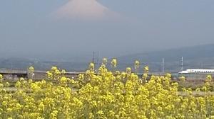 新幹線と菜の花2