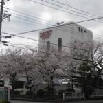 桜が見頃の中でUCC工場感謝祭が行われます!!